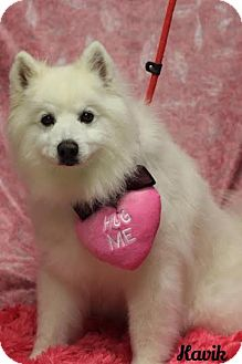American Eskimo Dog Mix Dog for adoption in Twin Falls, Idaho - Kavik