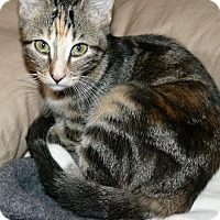Adopt A Pet :: Molly (gray stripe) - Garland, TX