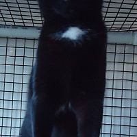 Domestic Shorthair Cat for adoption in Speedway, Indiana - Domino