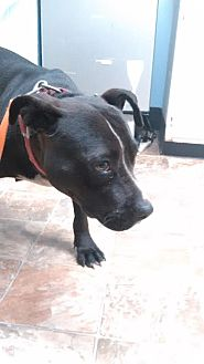 American Staffordshire Terrier Mix Dog for adoption in Darlington, South Carolina - Sheba