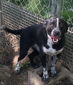 Australian Shepherd/Labrador Retriever Mix Dog for adoption in Staunton, Virginia - Maddy