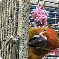 Adopt A Pet :: Melodi - Punta Gorda, FL