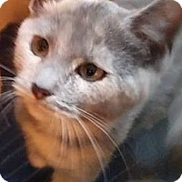 Domestic Shorthair Cat for adoption in Jerseyville, Illinois - Sophie