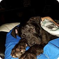 Adopt A Pet :: Scottie - Brunswick, ME