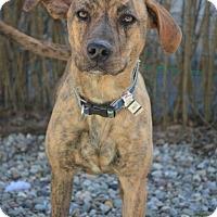 Adopt A Pet :: Maya - Danbury, CT