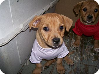 Dachshund/Chihuahua Mix Puppy for adoption in Bedford, Virginia - Little Girl
