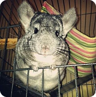 Chinchilla for adoption in Patchogue, New York - Beatrice
