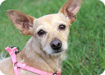Terrier (Unknown Type, Small)/Chihuahua Mix Puppy for adoption in Westminster, Colorado - Heather