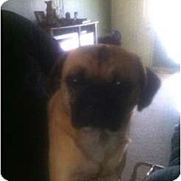 Adopt A Pet :: Puggles - Russellville, AR