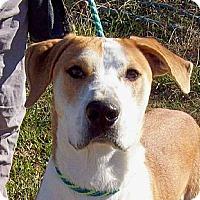 Adopt A Pet :: BOONE - Courtesy Posting - Glastonbury, CT
