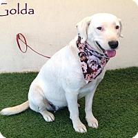 Adopt A Pet :: Golda - San Diego, CA