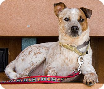 Jack Russell Terrier/Australian Terrier Mix Dog for adoption in Midlothian, Virginia - Nathan