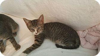Domestic Shorthair Kitten for adoption in Houston, Texas - Socks