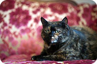 Domestic Shorthair Cat for adoption in Boise, Idaho - Tami