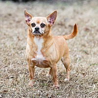 Pug/Chihuahua Mix Dog for adoption in Virginia Beach, Virginia - Max