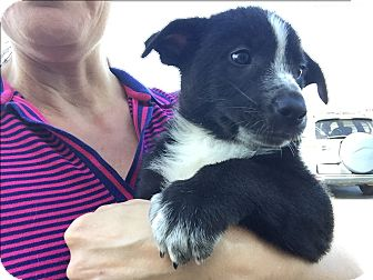Australian Shepherd/Border Collie Mix Puppy for adoption in Boerne, Texas - Roosevelt