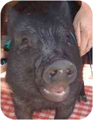 Pig (Potbellied) for adoption in Las Vegas, Nevada - Tank