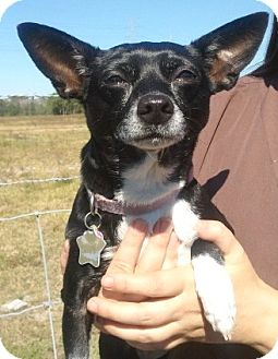Chihuahua Mix Dog for adoption in Orlando, Florida - Belle