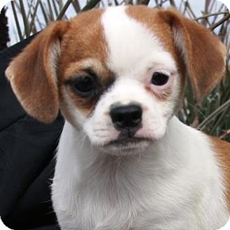 Pug/Terrier (Unknown Type, Small) Mix Puppy for adoption in Gilbert, Arizona - Vivian