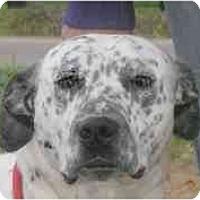Dalmatian Mix Dog for adoption in Turlock, California - Murphy