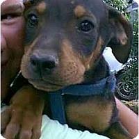 Adopt A Pet :: Dillon - dewey, AZ