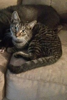 Domestic Shorthair Kitten for adoption in Miami, Florida - Tommy
