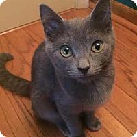 Adopt A Pet :: Calvin - Merrifield, VA