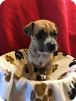 Boxer Mix Puppy for adoption in WESTMINSTER, Maryland - Marsha