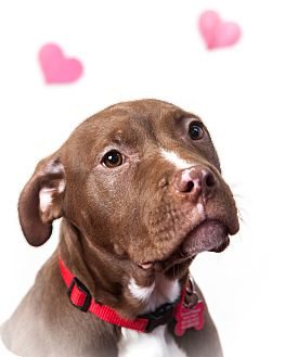 Pit Bull Terrier Puppy for adoption in Tehachapi, California - Sleepy
