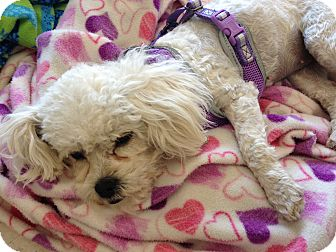 Poodle (Toy or Tea Cup)/Maltese Mix Dog for adoption in Brea, California - Daisy