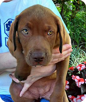 Labrador Retriever Mix Puppy for adoption in Knoxville, Tennessee - Angie