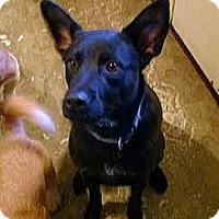 Labrador Retriever/German Shepherd Dog Mix Dog for adoption in High View, West Virginia - Jack