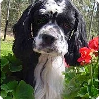 Adopt A Pet :: Chance - Sugarland, TX