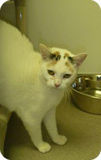 Calico Cat for adoption in Hamburg, New York - Carmen