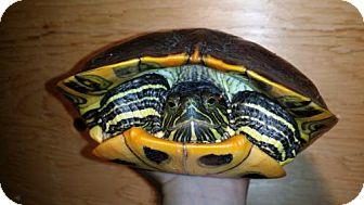 Turtle - Other for adoption in Pefferlaw, Ontario - Alia