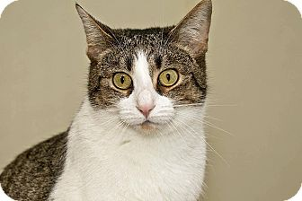 Domestic Shorthair Cat for adoption in Cashiers, North Carolina - Dora