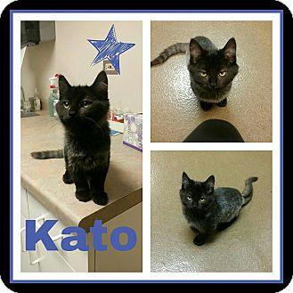 Domestic Mediumhair Kitten for adoption in Steger, Illinois - Kato
