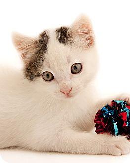 Domestic Shorthair Kitten for adoption in Chaska, Minnesota - Noah and Nadia