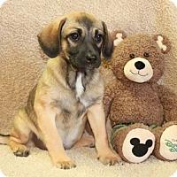 Adopt A Pet :: Gayle - Salem, NH