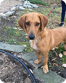 Basset Hound Mix Dog for adoption in Sagaponack, New York - Summer