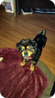 Shih Tzu/Pug Mix Dog for adoption in LAKEWOOD, California - Garcie