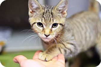 Domestic Shorthair Kitten for adoption in Philadelphia, Pennsylvania - Vienna Katerina