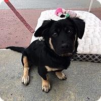 Adopt A Pet :: 'SHUFFLE' - Agoura Hills, CA