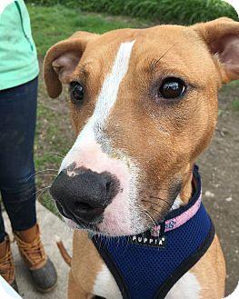 Adopt A Pet :: Bagel  - Troy, MI