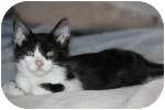 Domestic Mediumhair Cat for adoption in Colorado Springs, Colorado - K-Quail2-Howard