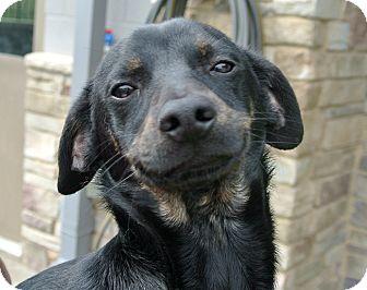 Miniature Pinscher Mix Dog for adoption in white settlment, Texas - Dusty