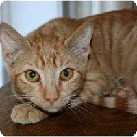 Domestic Shorthair Cat for adoption in Canoga Park, California - CVS