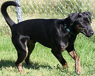 Hound (Unknown Type)/Labrador Retriever Mix Dog for adoption in Logan, Utah - Sam