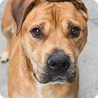 Adopt A Pet :: Brownie - Manhattan, NY