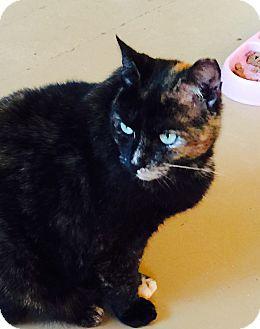 Calico Cat for adoption in Goshen, New York - Druella